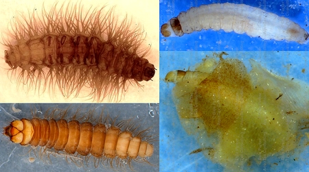 aquatic moth larvae