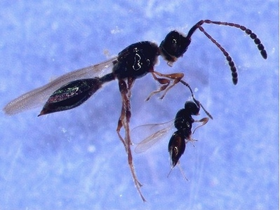 aquatic wasps